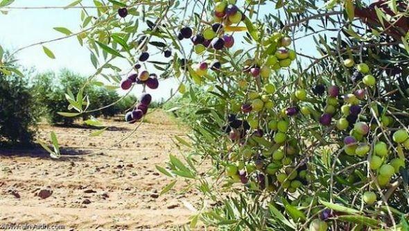 مساحات غراسة أشجار الزيتون